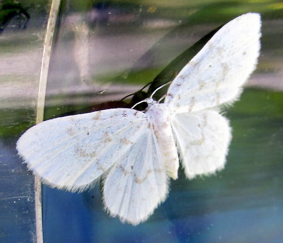 small white moth from Vermont floodplain - Hydrelia albifera