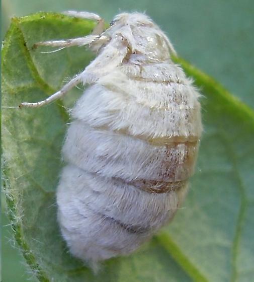 Live Oak Tussock moth - Orgyia detrita - female