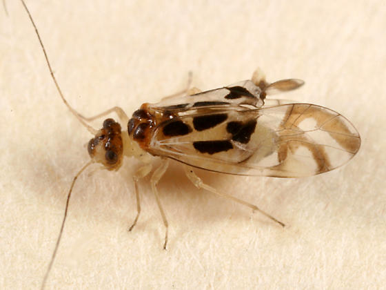 Barklice - Graphopsocus cruciatus