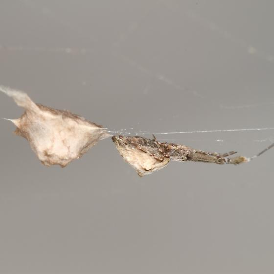 Spider with Egg Sac, Possibly - Uloborus glomosus