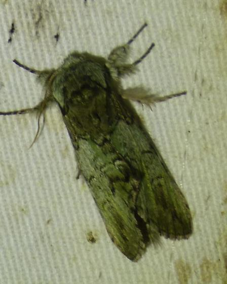 Macrurocampa marthesia - Mottled Prominent