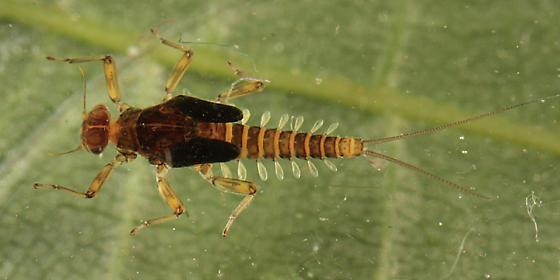Baetidae? - Acentrella turbida - male
