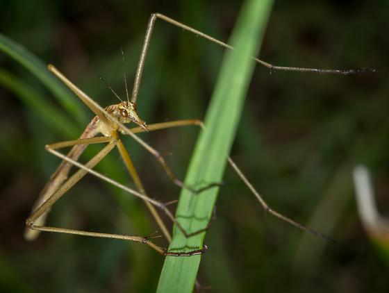 Wingless Scorpionfly - Apterobittacus apterus - female