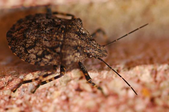Unknown bug - Brochymena chelonoides