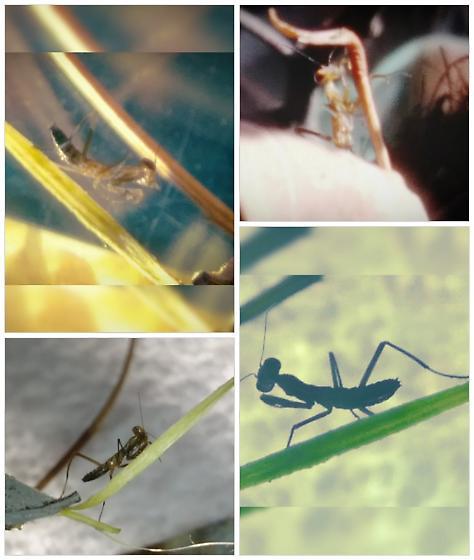 The baby Mantis - Mantis religiosa