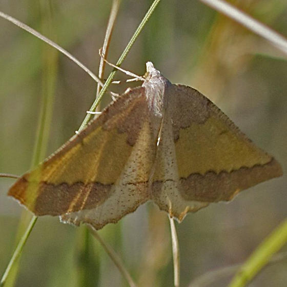 Attractive Yellow and Brown Moth - Lychnosea helveolaria