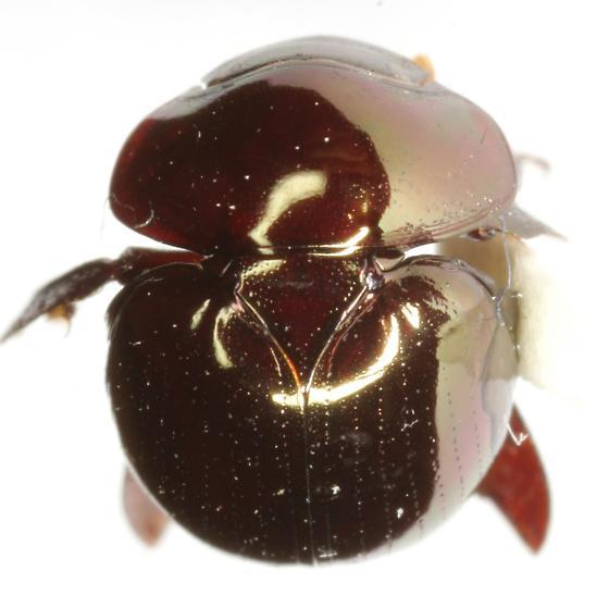 Ceratocanthus aeneus (MacLeay) - Ceratocanthus aeneus