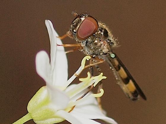 Syrphid G, Melanostoma mellinum - Melanostoma mellinum - female