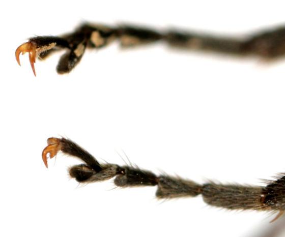 Atalantycha neglecta - male