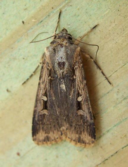 Brown Moth - Feltia subterranea