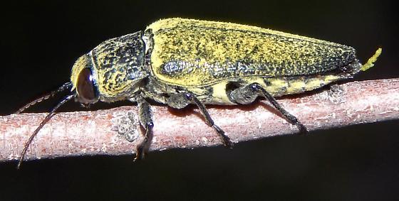 Buprestid on mesquite - Gyascutus caelatus - male