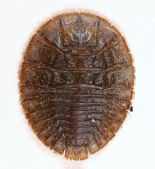 flat larva - Psephenus herricki