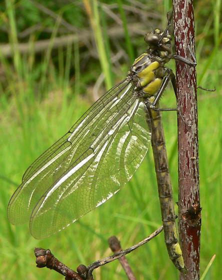 Sable Clubtail - Stenogomphurus rogersi - female