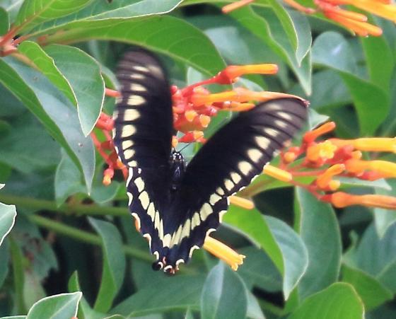 Unknown Swallowtail - Battus polydamas