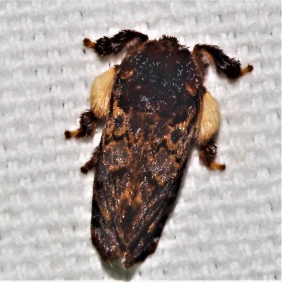 Phobetron pithecium - Hag Moth - Hodges#4677 - Phobetron pithecium