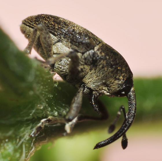 Profile - Geraeus picumnus