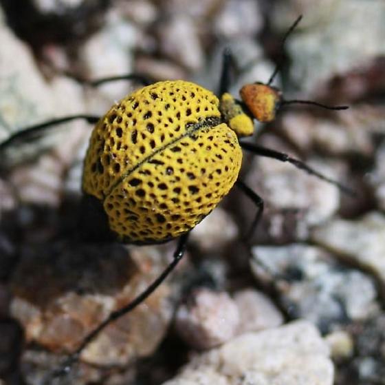 Yellow beetle - Cysteodemus armatus