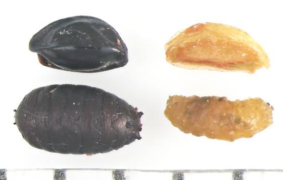 Agromyzidae, Columbine seed feeder - Phytomyza krygeri