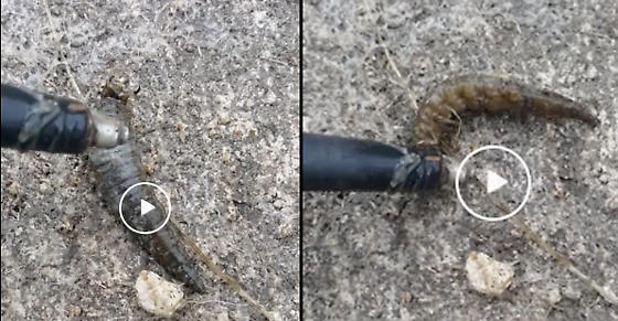 Hellgrammite like creature that squeaks or chirps see video