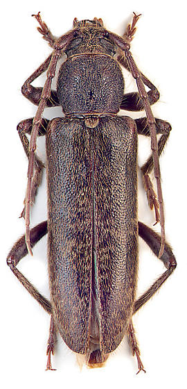 Trichoferus campestris - female