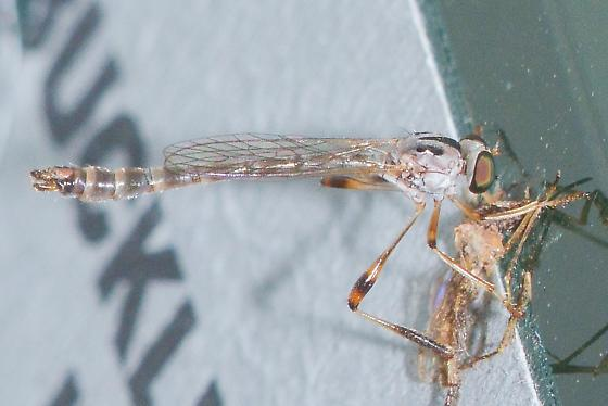 Leptogaster virgata for Louisiana - Leptogaster virgata - male