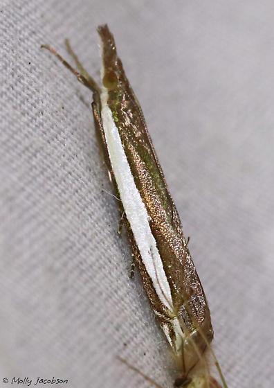 Grass-veneer - Crambus