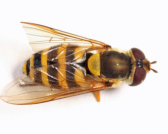 Syrphid - Syrphus ribesii - female