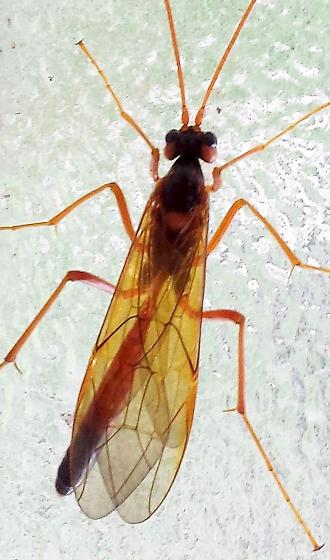 Opheltes? - Opheltes glaucopterus - female
