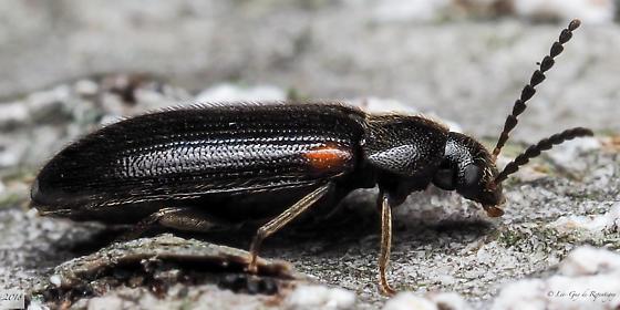 Coleoptera. - Mycetochara