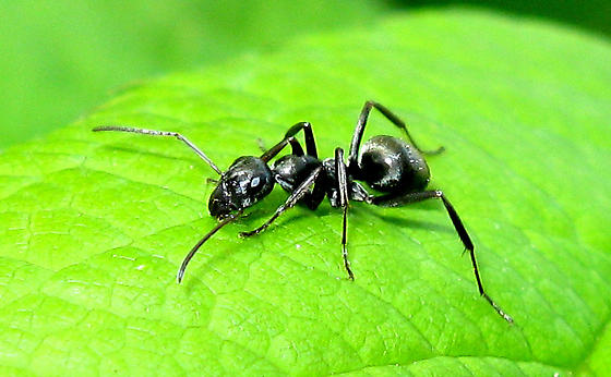 Type Of Black Ant - Formica subsericea