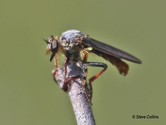 Heteropogon sp. - Heteropogon patruelis