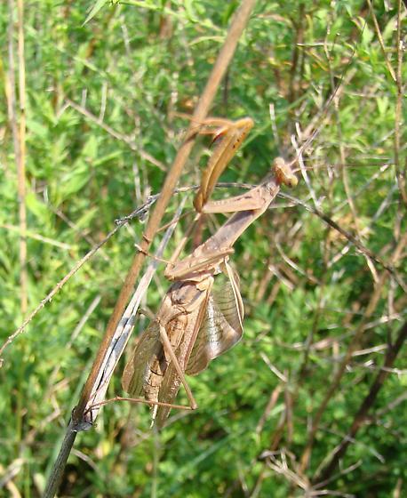 New Mantis - Mantis religiosa