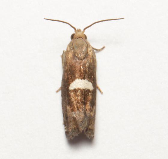 Olethreutinae, dorsal - Epiblema gibsoni