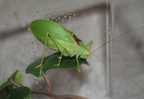 What kind of Katydid is this? - Pterophylla camellifolia - male