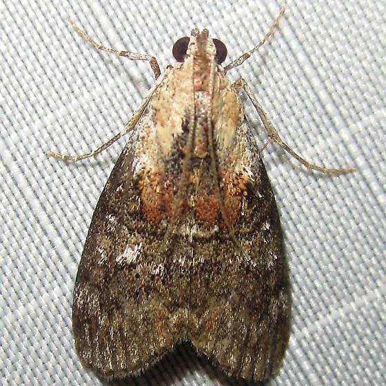 Brown white red moth - Pococera