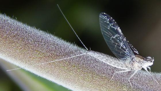 Callibaetis? - Callibaetis californicus