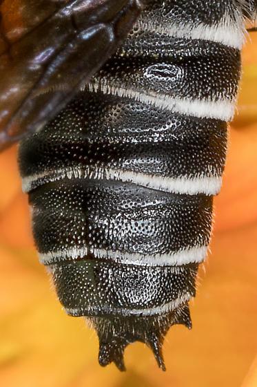 Porter's Cuckoo Leafcutter Bee (male)? - Coelioxys porterae - male
