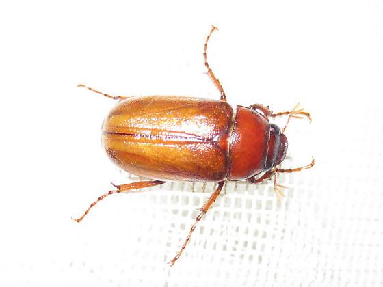 Phyllophaga glaberrima