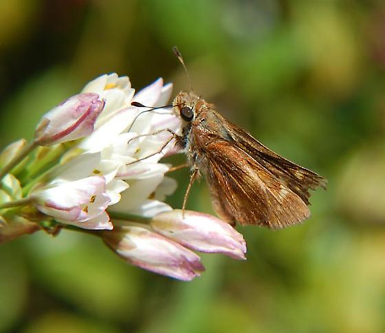 hesperiinae - Poanes melane