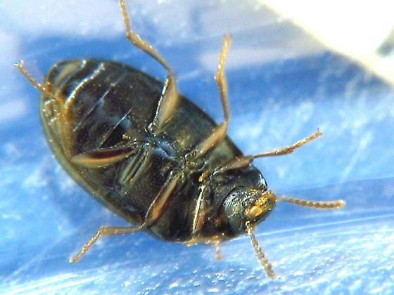 Another type of two-horned darkling beetle - Platydema excavatum - male