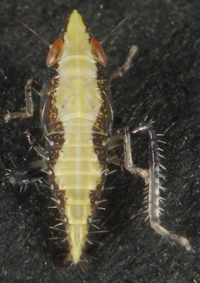 Scaphytopius sp.? - Scaphytopius
