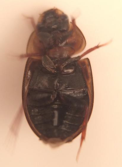 Beetle - Enochrus pygmaeus - female