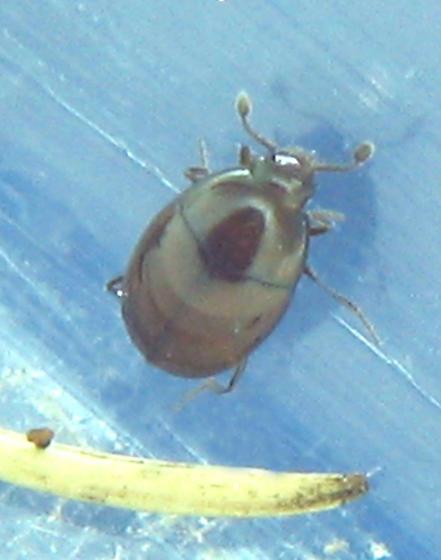 Tiny brown histerid - Aeletes politus