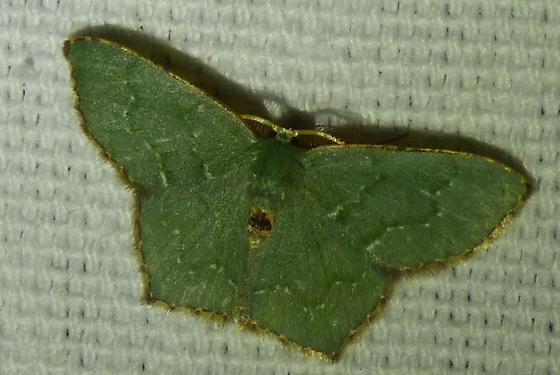 Chloropteryx tepperaria  Angle-winged Emerald - Chloropteryx tepperaria - male