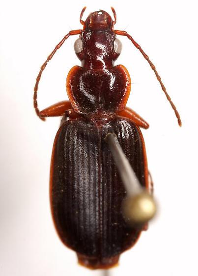 Cymindis (Pinacodera) platicollis (Say) - Cymindis platicollis