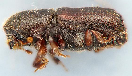 Scolytinae - Orthotomicus caelatus