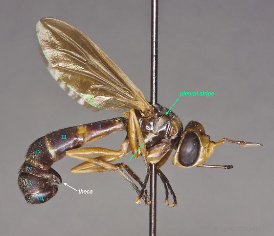 Curated specimen of female P. brachyrhynchus from the CAS - Physoconops brachyrhynchus - female