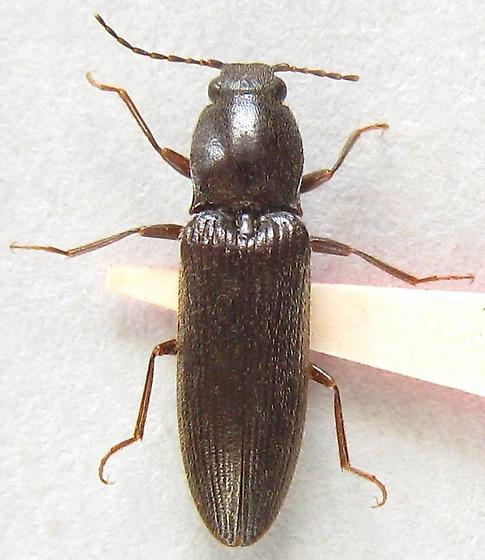Brown Click Beetle