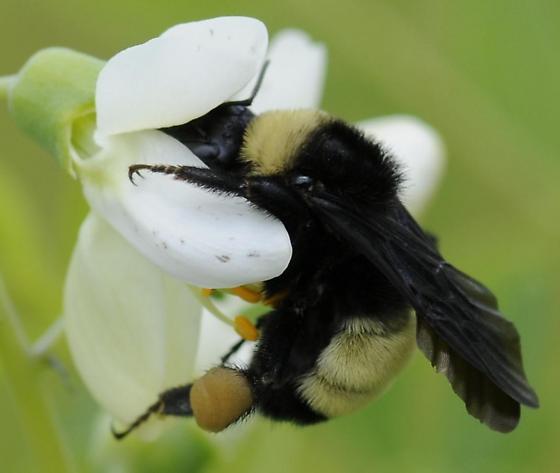 Bombus ? on Baptisia alba - Bombus pensylvanicus