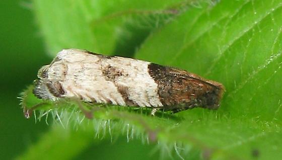 Chocolate & Vanilla Moth - Gypsonoma aceriana